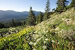 Summer wildflowers, Sierra Nevada, Eldorado National Forest, California