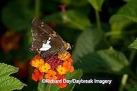 03551-009.03 Silver-spotted Skipper (Epargyreus clarus) on Red Spread Lantana (Lantana camara) Marion Co. IL