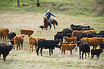 Late winter cattle roundup and marking at the Joses Ranch near Calaveritas, Calfornia...Elliot Joses