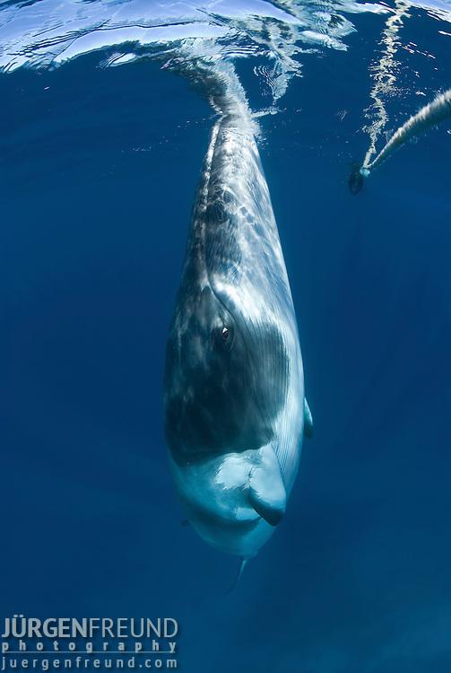 Dwarf minke whale near the minke line of the Undersea Explorer (Balaenoptera acutorostrata)