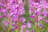 Bees pollinate Fireweed blossoms, Alaska.