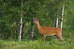 White-tailed doe in summer