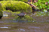 White-throated Dipper (Cinclus cinclus) Spinning Caddisfly larvae in beak. Dippers have a remarkable way to catch food in a niche area. They are able to dive under water readily at will and walk along the bottom in search of caddis fly larva and other food.