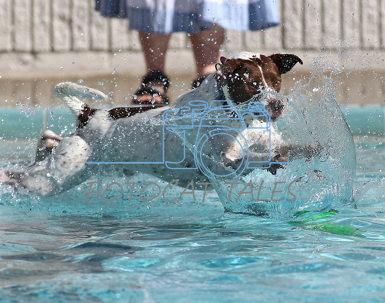 Clover enjoys the third annual Pooch Plunge at the Carson Aquatic Facility in Carson City, Nev., on Saturday, Sept. 17, 2011. The event, which raises money for Parks 4 Paws, continues Sunday with sessions at 9 a.m., 11 a.m. and 1 p.m..Photo by Cathleen Allison