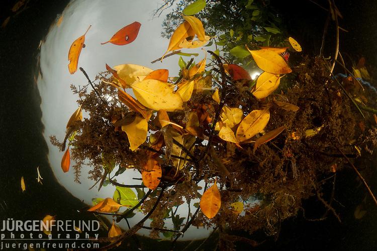 Fallen mangrove leaves adding to detritus to the soil. North Raja Ampat, West Papua, Indonesia