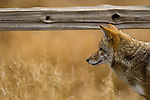 This coyote is hunting for rodents in Yosemite National Park, California, USA, on November 29, 2007.  Photo By Gus Curtis.