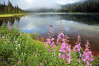 Fireweed along shore of Reflection Lake, Mount Rainier National Park, Washington, USA