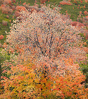 Mountain Maples IV