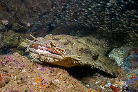 Tasselled wobbegong (Eucrossorhinus dasypogon) about to strike. Exmouth, Western Australia, Indian Ocean