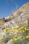 Anza-Borrego Desert State Park, Borrego Springs, California; Little Gold Poppy (Eschscholzia minutiflora) flowers growing amongst the rocks on a hillside, with blue skies above