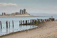 Eider on the beach at Walney Island with Peil Castle in the background, Barrow in Furness, Cumbria, Uk