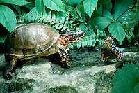 3-toed Box Turtle studies suspiciously a red spotted purple Butterfly, Limenitis arthemis,  at water hole