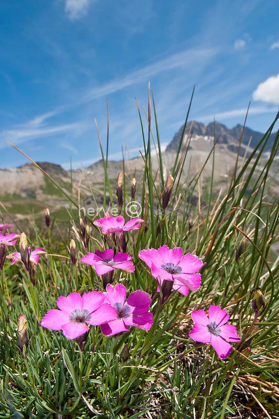 Vers la crête de Chaillol (entre le col du Lautaret & du Galibier) : oeillet négligé (Dianthus pavonius=D. neglectus) // Dianthus pavonius (France, Alpes, between the passes of Lautaret ant Galibier)