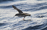 Balearic Shearwater - Puffinus mauretanicus Wingspan to 87cm Critically endangered seabird. Similar to Manx Shearwater but plumage overall browner. Note projecting legs in flight, and dark undertail coverts. Breeds on Balearic islands. Most of world population moves to Bay of Biscay to moult in summer months, at which time they visit British waters.