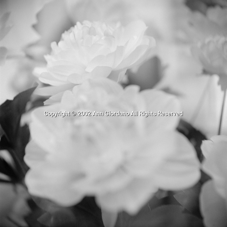 Defocussed view of white roses
