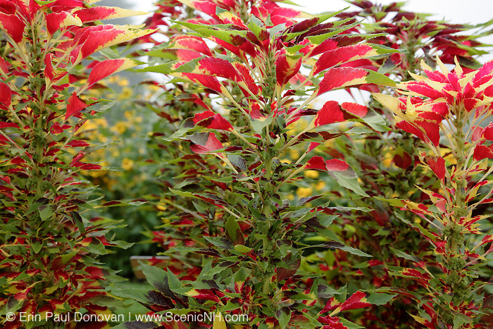 Amaranthus tricolor 'Perfecta', Joseph's Coat during the summer months at  Prescott Park in Portsmouth, New Hampshire USA