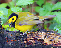 Hooded warbler male in April