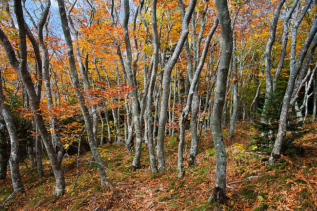 Autumn beech gapCritically ImperiledAt very high risk of extinction