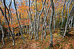 Autumn beech gapCritically ImperiledAt very high risk of extinction