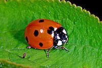 Siebenpunkt-Marienkäfer, Siebenpunkt - Marienkäfer, 7-Punkt-Marienkäfer, 7-Punkt, Coccinella septempunctata, seven-spot ladybird, sevenspot ladybird, 7-spot ladybird