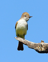 Adult ash-throated flycatcher