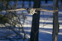 Great Grey Owl soaring through a forest