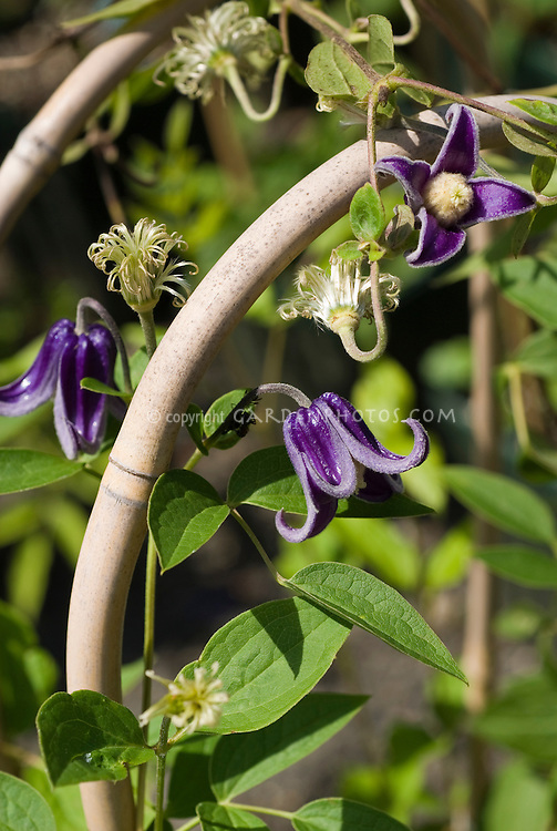 Clematis 'Fascination' C. integrifolia x C. fusca hybrid on bamboo trellis support climbing vine