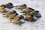 Canada Geese Resting, Branta canadensis
