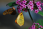 Julia heliconia and cloudless sulphur butterflies