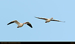 Snow Goose, Flight Study, Bosque del Apache Wildlife Refuge, New Mexico