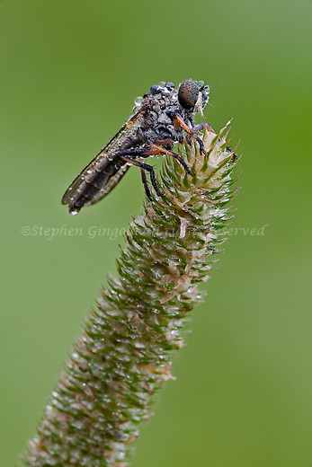 A very dewy robberfly sits atop a grass seed head.