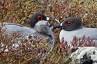 Mother, father and juvenile Swallow-tailed gulls nestled in the islands red, gold and green vegetation . A mating pair of Swallow-tail gulls frequently stay together from year to year. They feed their chick for about 90 days before it ventures to the sea.