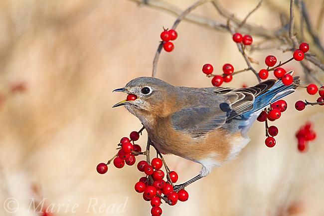 Eastern Bluebird (Sialia sialis) female feeding on winterberry (Ilex sp.) fruit in winter, New York, USA