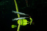 Estuarine halfbeak (Zenarchopterus disper) in the shallow mangroves with  reflection. North Raja Ampat, West Papua, Indonesia