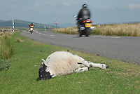 Dead lamb at the side of a road, North Yorkshire.