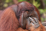 Bornean Orangutan (Pongo pygmaeus wurmbii) - Tom, king of the jungle of Camp Leakey.