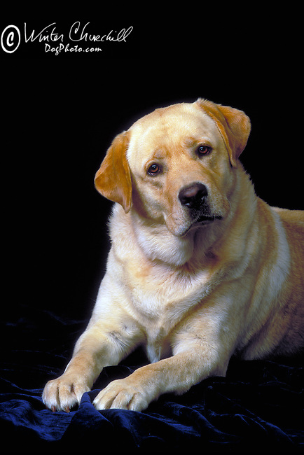 Labrador Retriever<br /> <br /> Shopping cart has 3 Tabs:<br /> <br /> 1) Rights-Managed downloads for Commercial Use<br /> <br /> 2) Print sizes from wallet to 20x30<br /> <br /> 3) Merchandise items like T-shirts and refrigerator magnets