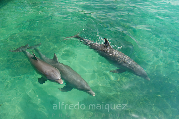 Common Bottlenose Dolphin (Tursiops truncatus) Oceanarium, San Martin de Pajarales island, Rosario islands, Cartagena de Indias, Colombia, South America.