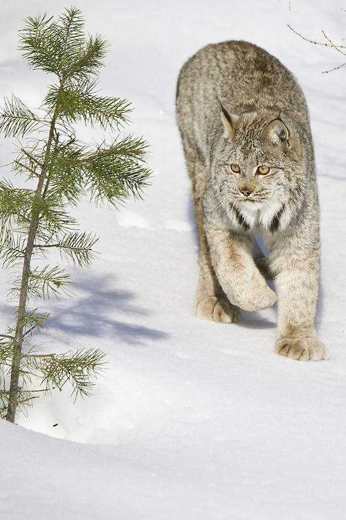 Canada Lynx in the snow - CA