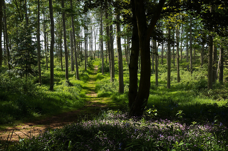 Woodland with a pthe and summer sunlight in England