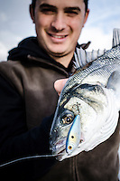 A large specimen of European Sea Bass caught on a lure on light tackle