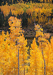 San Isabel National Forest, Cottonwood Pass, CO: Backlit aspen trees with distant hillside of apsens in shade