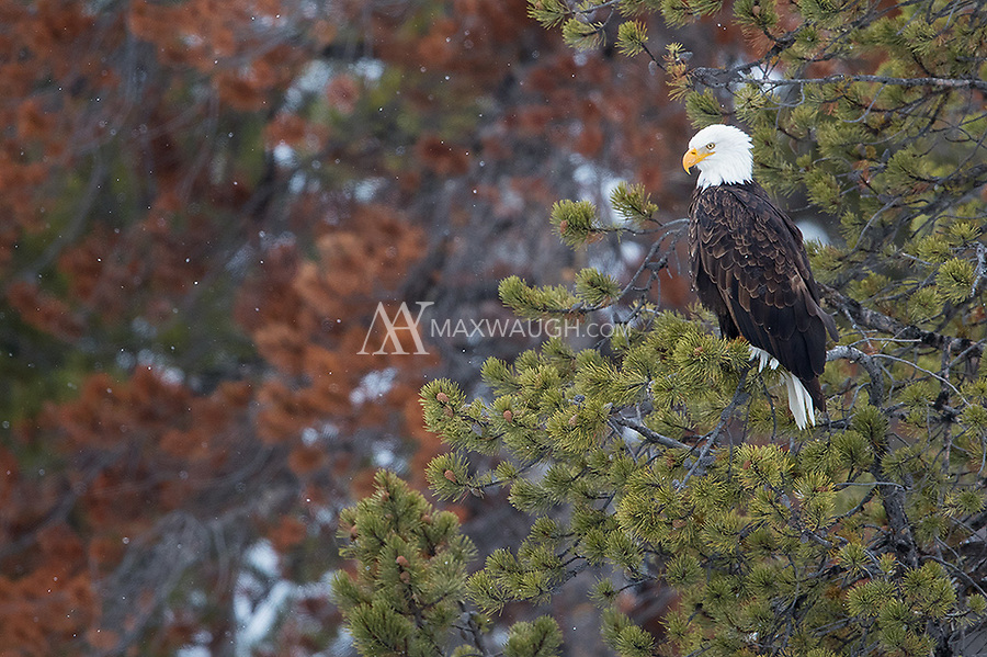 Bald eagles are often seen perched along Yellowstone's rivers in winter.  This one was watching the Gibbon River for fish.