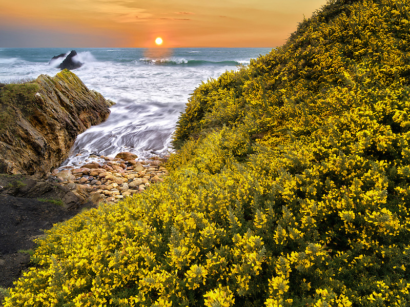 Blooming gorse and waves. Harris Beach State Park, Oregon (This image is a photo illustration, and was created from five separate photos that were merged together.)
