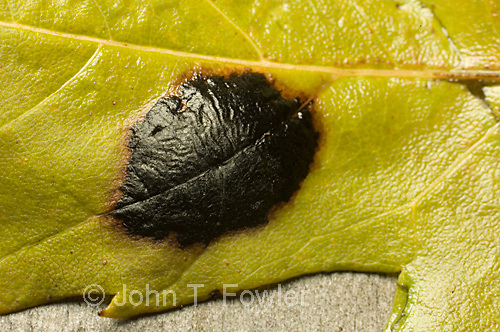 Tar spot fungus on maple leaves; Rhytisma sp.