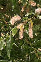 Silber-Weide, Silberweide, Weide, Früchte, fruchtend, Samen, Salix alba, White Willow