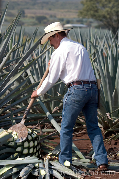 """A jimador (agave harvester) demonstrates how to harvest the piña or """"pineapple"""" of a Weber blue agave plant used to make tequila at the jose cuervo plantation near Tequila, Mexico."""