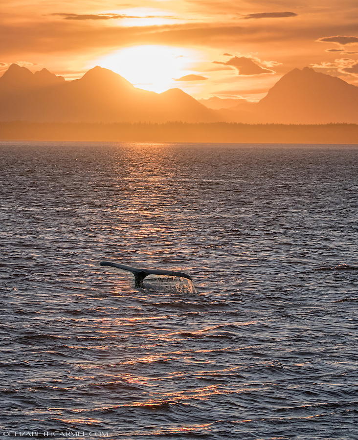 Sunset Whale, Alaska