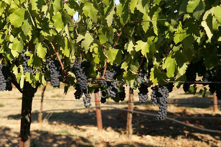 Wine grapes in Sonoma County.