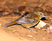 Female red-throated ant-tanager